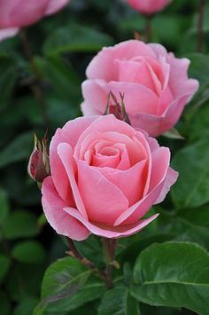 One last post concerning Queen Elizabeth and her 90th birthday, in the flower world English roses, are world famous and perhaps none as much as Queen Elizabet
