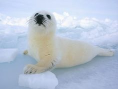 Baby seal,harp seal,baby animals,most adorable baby animals,cute baby animal Harp Seal Pup, Baby Harp Seal, Baby Seal, Polar Animals, Cute Baby Animals, Polar Bear, Animals And Pets, Wild Animals, Beautiful Creatures