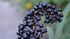 Elderberry is a potently magical fruit that has been used for healing and blessings, but it also finds itself used for curses, summoning ghosts and evil spirits and banishing as well. -- Elderberry Magical Properties