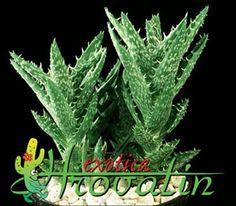 * Aloe squarrosa - Jemen Aloe