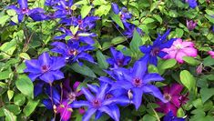 Clematis Plants Clematis Varieties The categories used below are designed so as to give you an overview of the different types of climbing plants, known as clematis plants, available, and the variou