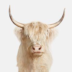 Randall Ford - Highland Cow Name: Gertrude Highland Cow Painting, Highland Cow Art, Highland Cattle, Farm Animals, Cute Animals, Cow Tattoo, Fluffy Cows, Gado, Cute Cows