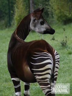 Okapi - ZooParc de Beauval Bizarre Animals, Rare Animals, Funny Animals, Okapi, Beautiful Creatures, Animals Beautiful, Wild Animals Photography, Beaux Couples, Animal Magic