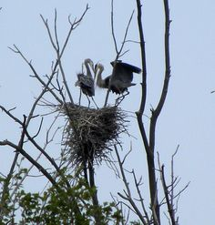 You will love visiting Roscommon County! There is a heron rookery in the Houghton Lake Flats - osprey, eagles, ducks, geese. Bring your camera to this natural wildlife viewing area. www.visithoughtonlake.com