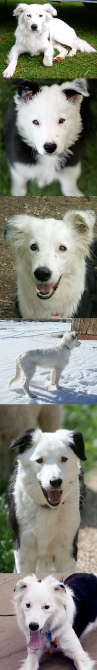 White/white faced Border Collies. I would LOVE an all white border collie.