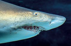 Although Sand Tiger Sharks can eat just about anything (& swallow it whole), they are not known to attack humans. Aquarium Sand, Critters 3, Ocean Video, Nurse Shark, Shark Family, Animal Facts, Shark Week, Marine Life, Sea Creatures