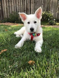White German Shepherd puppy (9 weeks)