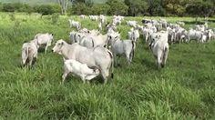 Nelore - Raising calves in Bahia, Brazil