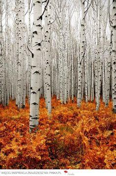 Birch Forest - Poland