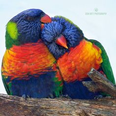 """Lorikeet Lovers""  Happy Valentine's Day Loverrrrs!  These Rainbow Lorikeets are looking appropriately romantic, however what they are actually doing is ""Allopreening"" which is the technical word for preening. Allopreening is a form of social grooming, allowing for proper cleaning of the head feathers of birds. Parrots delicately preen each other's feathers, one at a time, the bird being preened shows pleasure by fluffing out its head feathers, closing its eyes and lowering its head…"