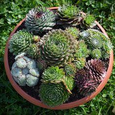 Netřeskové mísy : Netřesky Zvotoky | Jsme malé rodinné zahradnictví specializující se na pěstování/prodej netřesků a skalniček