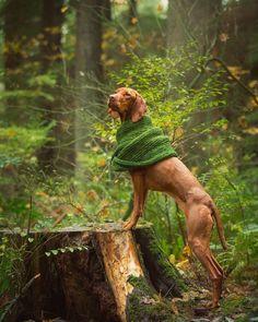 Working mom's scarf on a rainy day; merino has never looked so good #dogmodel #vizslagram #weeklyfluff