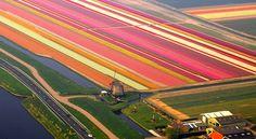 まるで虹色のカーペット!世界最大のチューリップ畑。オランダの『ザイプ』