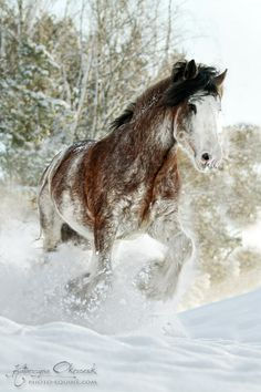 Clydesdale stallion. Sweden