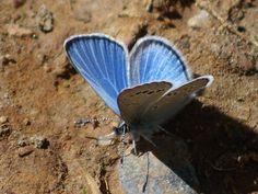 Silvery Blue ©Clark Anderson. Wild Bird Company - Boulder, CO, Saturday Morning Bird Walk in Boulder County - May 28, 2016.