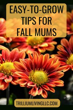 Organic Gardening Ideas Tips to Grow Fall Mums - Fall mums are synonymous with autumn and can brighten any garden, patio or window box. Here are tips for selecting, caring and overwintering. Garden Mum, Autumn Garden, Easy Garden, Garden Ideas, Garden Gate, Green Garden, Patio Ideas, Landscaping Ideas, Flowers Perennials
