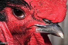 Stock Photo - Extreme Close-up of the Head of a Rooster (Gallus gallus domesticus Extreme Close Up, Royalty Free Images, South Africa, Cape, Stock Photos, Photography, Roosters, Portraits, Chicken