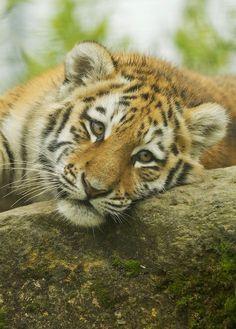 "Tiger - Just ""Layin' Around"" baby Animals Animals Baby Animals Pictures, Cute Baby Animals, Mundo Animal, My Animal, I Love Cats, Big Cats, Beautiful Creatures, Animals Beautiful, Tiger Love"