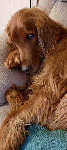 My Golden Irish Mtani. Irish Setter, Cute Baby Animals, Dog Pictures, Dogs And Puppies, Cute Babies, Future, Dogs, Cute Animals, Pet Dogs