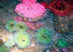 Tidal-Pool-Anemonae
