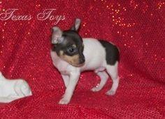Harley my Toy Fox Terrier at 4 weeks