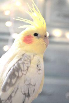 Tassi - my pearly lutino cockatiel