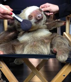 Lights, camera, action: A sloth stopped by the 'Today' show Wednesday and received some hair and makeup pampering