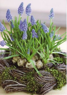 Grape hyacinths in a nest ... Sweet way to welcome spring <3