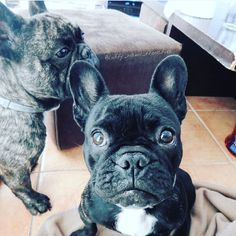 Our latest feature thank you for tagging @frenchiebullys we are a page of all…