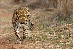 Leopardess by Thomas Retterath on 500px