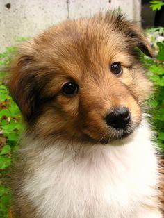 1768 sheltie pup 2 | Flickr - Photo Sharing!