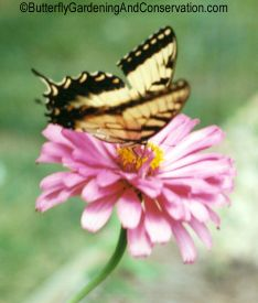 Tiger Swallowtails are one of my most favorite butterflies! They are very large butterflies, with a wingspan of 2.5 - 4.5 inches, and black and yellow striped wings.