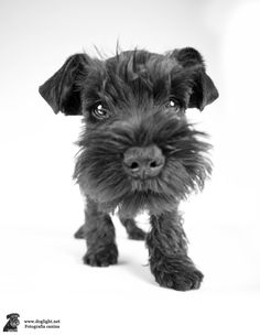 Hello there! Link: https://www.sunfrog.com/search/?64708&search=schnauzer&cID=62&schTrmFilter=sales