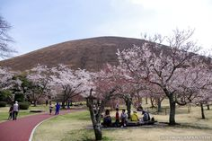 Sakura no Sato on the Izu Peninsula (Shizuoka Prefecture) is a great place for a relaxing hanami party. ^__^