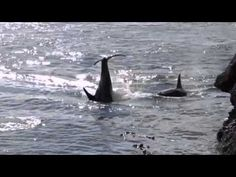 GLORIOUS!!!!!!! About 50 Orca killer whales playing in Active Pass, Galiano Island, BC!  JOY-FULL and FREE as they should be!  ENJOY!