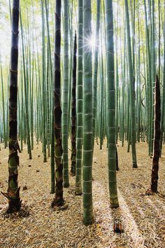 Arashiyama Bamboo Forest, Japan - 15 Truly Astounding Places To Visit In Japan Bamboo Architecture, Bamboo Tree, Bamboo Crafts, Gras, Cool House Designs, Cactus Plants, Landscape Design, Scenery, Home And Garden