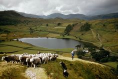 A shepherd and his flock of sheep in Britain's Lake District