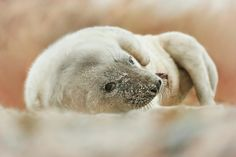 Baby seal - Helgoland, Germany