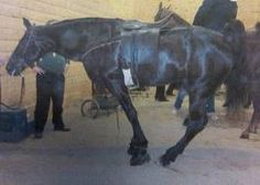 FOR IMMEDIATE RELEASE Additional Arrests Made in Maryville, Tenn., Horse Soring…
