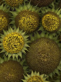 15678 Helianthus annuus | by horticultural art