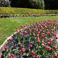 Tulip garden by the windmills in San Francisco CA Tulips Garden, Windmills, San Francisco, Wind Mills, Windmill