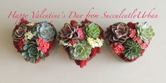 Succulent arrangements made with live succulents accented with red moss in heart shape glass container. These are a fresh alternative to the classic bouquet os red roses.