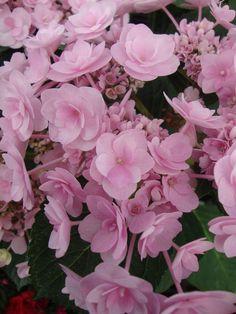 "Macrophylla hydrangea ""you me passion"""
