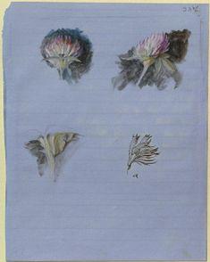 Ruskin, John - Recto: Four Studies of Clover Blossoms