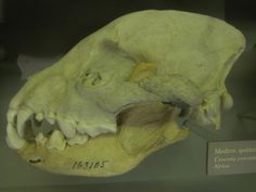 Crocuta left lateral view of the skull