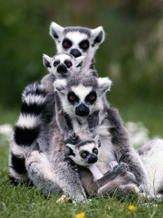 Lemur pyramid! This adorable little family cuddles up in Madagascar. (photo: Caters)