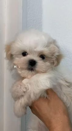 Maltipoo Puppies For Sale, Maltipoo Dog, Cavapoo Puppies, Teacup Puppies, Dogs And Puppies, Maltipoo Haircuts, Teacup Maltese, Very Cute Puppies, Cute Baby Dogs