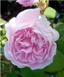 Rosa x centifolia Chapeau de Napoleon