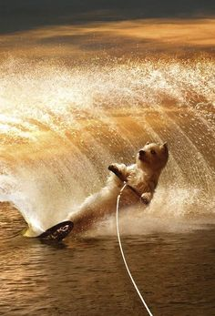 Maverick/Rex USA - West Highland White Terrier water skiing! °