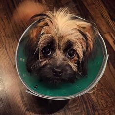 Get this come off of me please! #coneofshame #dogsofinstagram #puppylove #spay #spayed #spayandneuter #conehead #cone #puppyface #cutepuppy #pup #lifeofrileypup #paws #furbaby #shihtzu #maltipoo #help #fourleggedfriend #shihtzusofinstagram #lacyandpaws by thepup_riley